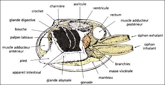 palourde_anatomie