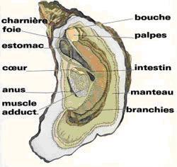 huitre-anatomie